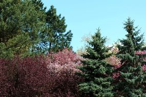 Colorful blooming Trees among green conifers, Spring Landscape