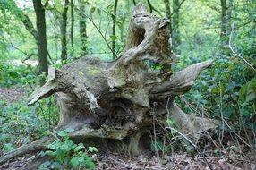 Picture of tree Root in a forest