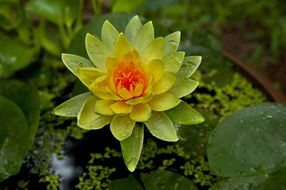 yellow water lily flower