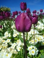 dark purple tulips among white flowers