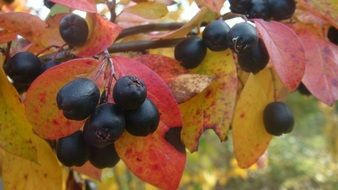 black berries of dogwood among autumn foliage