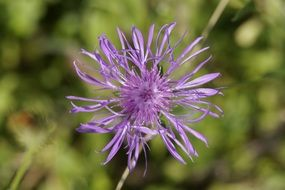 purple cornflower in the meadow