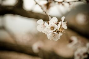 cherry blossom on a branch on a blurred background