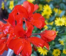 scarlet flower and water drops