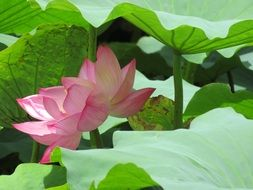 water lilies among large green leaves