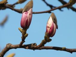 closed magnolia buds on a branch