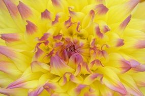 Flower Nature Dahlia Yellow
