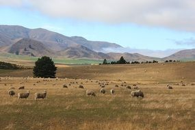 sheep on a south island in New Zealand