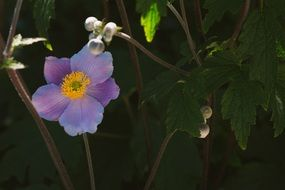 blue anemone as an ornamental plant