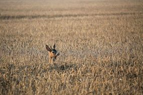 roe deer in a dry corn field