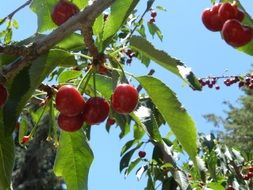red ripe cherry on a branch in a garden in Leon Valley