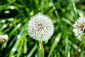 dandelions on green grass in the sunlight closeup