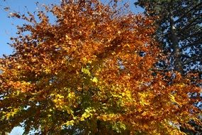 tree in colorful autumn foliage on a sunny day