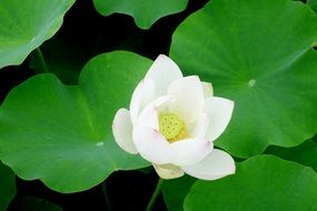 snow-white lotus among green leaves