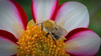 bee on a two-color dahlia close up
