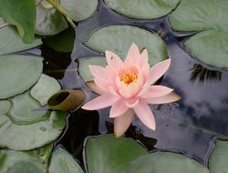 Pink Lily in a pond