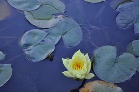 light yellow water lily on a blue pond