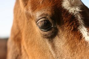 muzzle of a brown thoroughbred horse close-up
