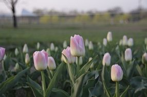 glade of light pink tulips closeup