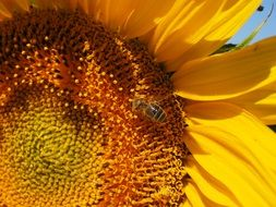 busy bee pollinating sunflower in summer