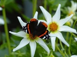 black butterfly with orange stripes on a white flower