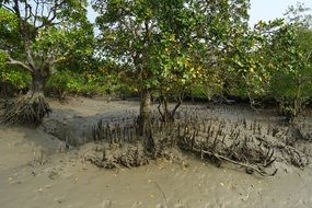 mangroves trees with aerial roots, india, sundarbans