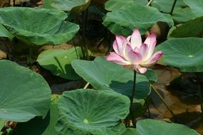 pink lotus on large green leaves on a sunny day