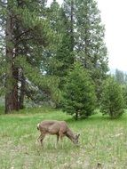 deer in Yosemite national park