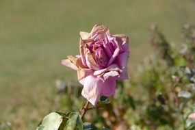 dried faded rose