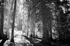 forest in sunlight in black and white image