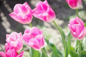 Tulips Pink Spring flower