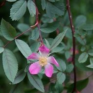rosa glauca from the rosehip family