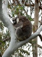 Sleeping koala on the tree in Australia