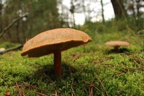 autumn mushroom in a forest in denmark