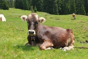 cows on the pasture in the south tyrol