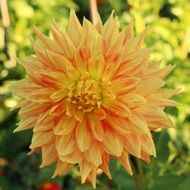 light orange dahlia close up