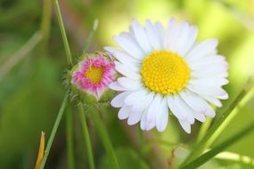 captivating Daisy Flower and green grass