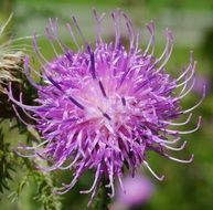 blooming wild thistle
