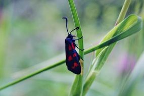 black beetle in red dots on the blade of grass