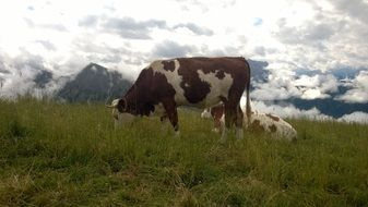 cows in alpine mountains panorama