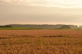 ripe Cornfield in countryside at morning