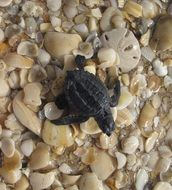 Sea small Turtle