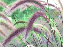 fluffy cherry sparkler fountain grass