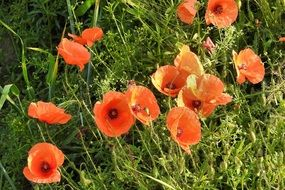 red poppies on the wild meadow