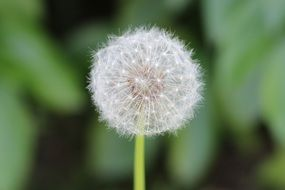 dandelion flower with blurred background