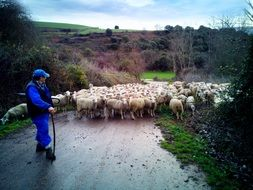 shepherd with a flock of sheep on the road