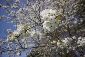 white flowering of a cherry tree on a sunny day