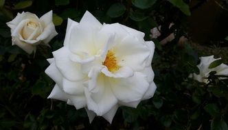 white rose in the garden on a flower bed