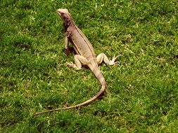 iguana on green grass in the caribbean