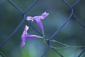 mexican petunia, two purple flowers on metal grid